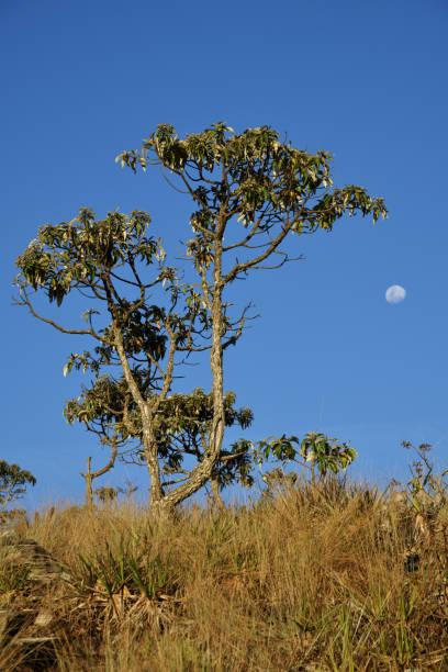Árvore de candeia e lua crescente no céu azul em Brasil - foto de acervo