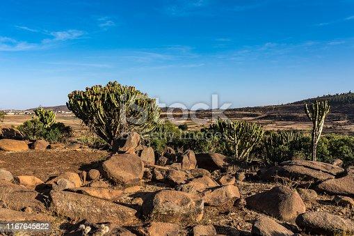 candelabra trees around historical city Aksum - Ethiopia, Africa
