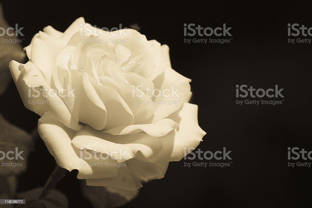 Candid White Rose, Sepia Toned royalty-free stock photo