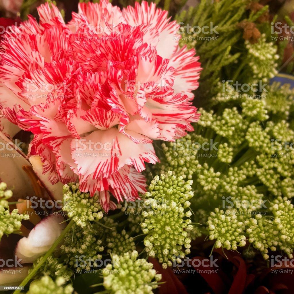 Candy cane carnation stock photo