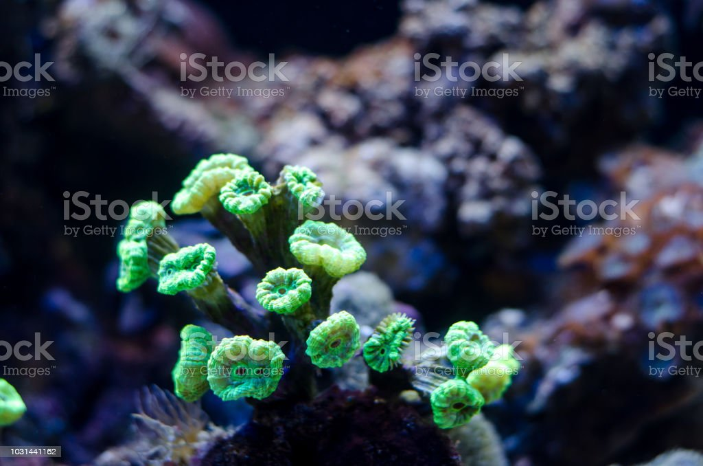 Candy cane coral or trumpet coral stock photo