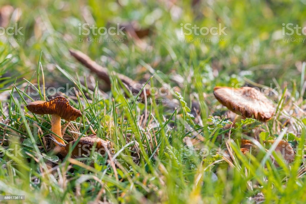 Candy cap mushrooms in the grass on a meadow stock photo