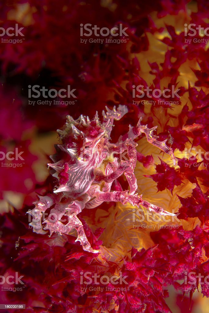 Candy crab stock photo