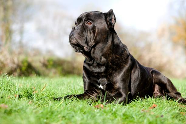 Cane Corso, a Dog Breed from Italy, Adult laying on Grass Cane Corso, a Dog Breed from Italy, Adult laying on Grass cane corso stock pictures, royalty-free photos & images