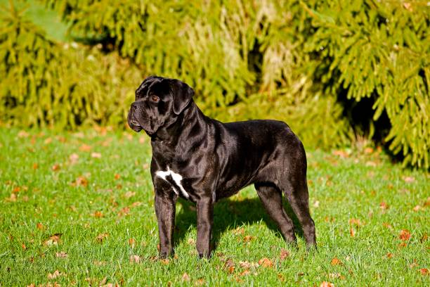 Cane Corso, a Dog Breed from Italy, Adult standing on Grass Cane Corso, a Dog Breed from Italy, Adult standing on Grass cane corso stock pictures, royalty-free photos & images