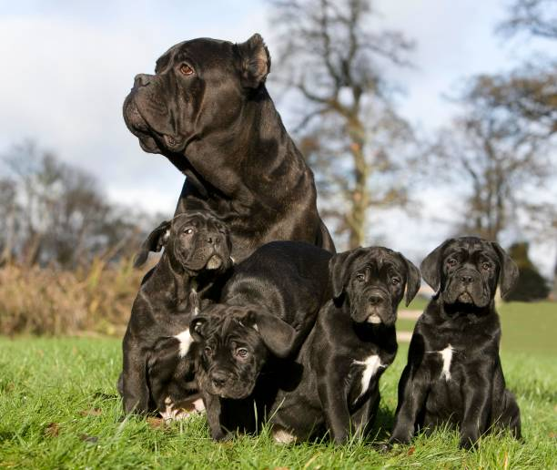 Cane Corso, a Dog Breed from Italy, Female and Pups sitting on Grass Cane Corso, a Dog Breed from Italy, Female and Pups sitting on Grass cane corso stock pictures, royalty-free photos & images