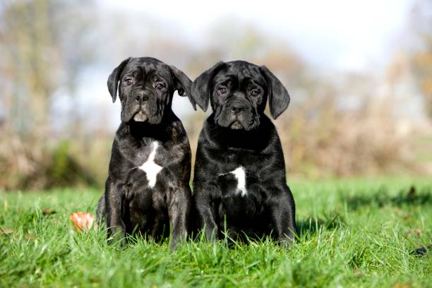 Cane Corso, a Dog Breed from Italy, Pups sitting on Grass Cane Corso, a Dog Breed from Italy, Pups sitting on Grass cane corso stock pictures, royalty-free photos & images