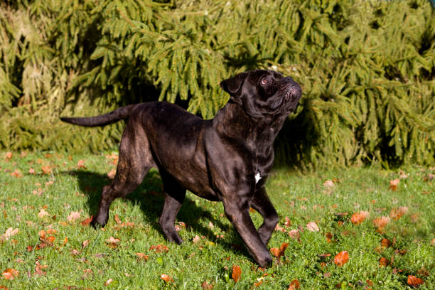 Cane Corso, Dog Breed from Italy, Adult standing on Grass Cane Corso, Dog Breed from Italy, Adult standing on Grass cane corso stock pictures, royalty-free photos & images