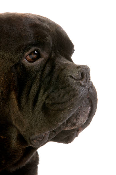 Cane Corso, Dog Breed from Italy, Portrait of Adult against White Background Cane Corso, Dog Breed from Italy, Portrait of Adult against White Background cane corso stock pictures, royalty-free photos & images