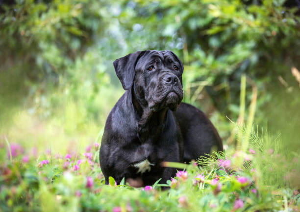 Cane corso dog outdoors Portrait of a young female cane corso dog. cane corso stock pictures, royalty-free photos & images