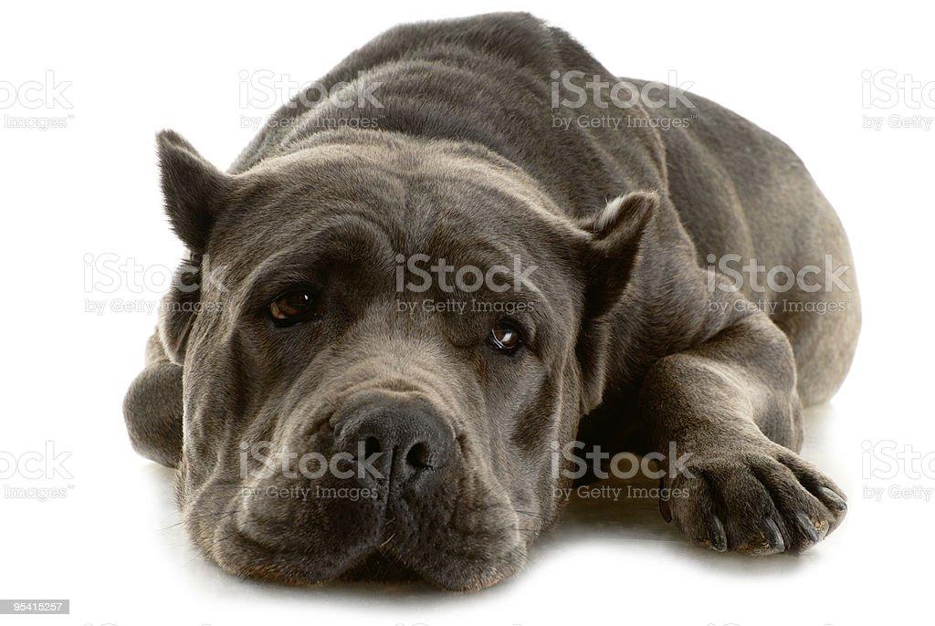 Cane Corso Hund Lizenzfreies stock-foto