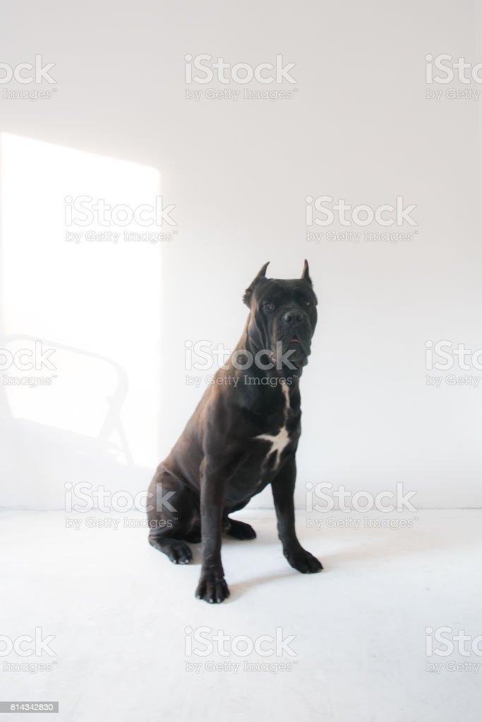 Cane Corso Hund Portrait Auf Weißem Hintergrund Stock Fotografie Und