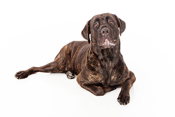 Cane Corso Dog Slobbering Cane Corso dog with slobber laying against a white backdrop animal saliva stock pictures, royalty-free photos & images