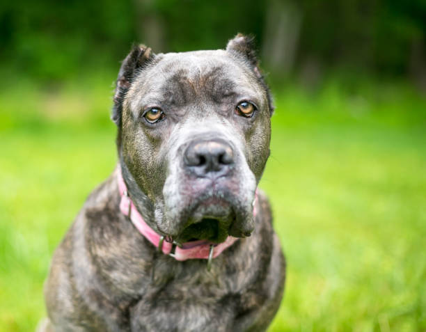 A Cane Corso mixed breed dog with cropped ears and a grumpy expression A Cane Corso mixed breed dog with cropped ears and a grumpy expression outdoors cane corso stock pictures, royalty-free photos & images