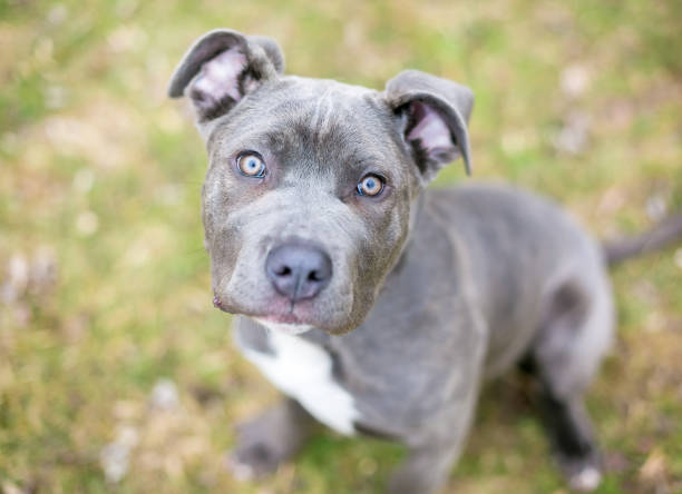 A Cane Corso mixed breed puppy looking up at the camera A Cane Corso mixed breed puppy sitting in the grass and looking up at the camera cane corso stock pictures, royalty-free photos & images