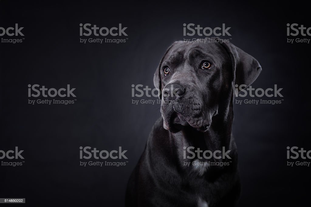 Cane corso portrait stock photo