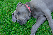 Cane corso puppet lying on a fresh lawn, looking tired