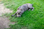 A Cane Corso mixed breed puppy sitting in the grass and looking up at the camera