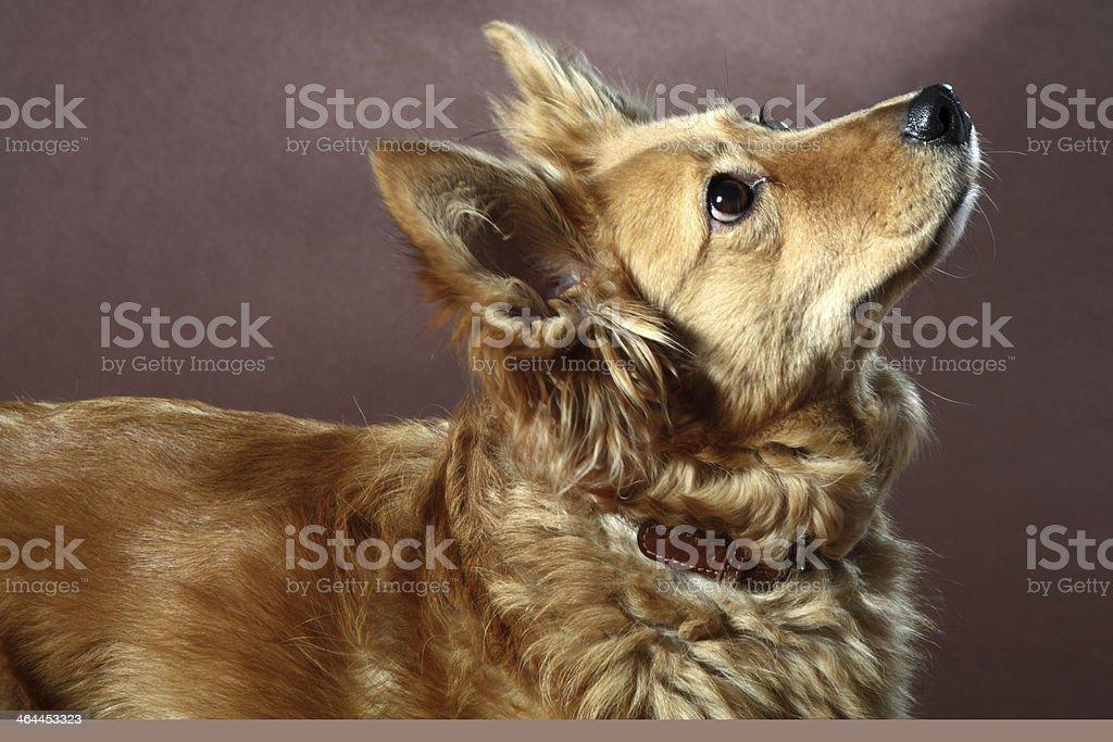 cane italiano royalty-free stock photo