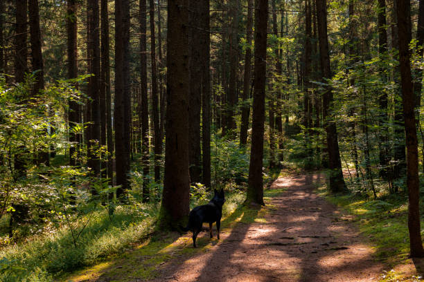cane nero sul sentiero nel bosco cane nero all'erta sul sentiero nel bosco percorso stock pictures, royalty-free photos & images