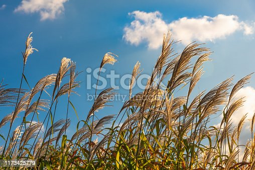 Cane panicles swaying in the wind and blue sky with white clouds in the background on a sunny day