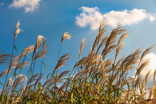 Panículas do bastão que balanç no vento e no céu azul com as nuvens brancas no fundo em um dia ensolarado - foto de acervo