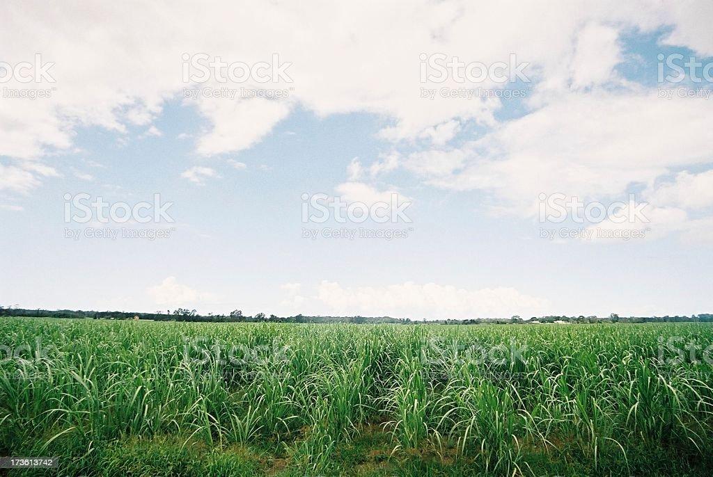 Cane sugar field royalty-free stock photo