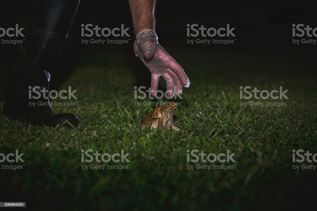 Cane toad about to be collected by a gloved hand stock photo