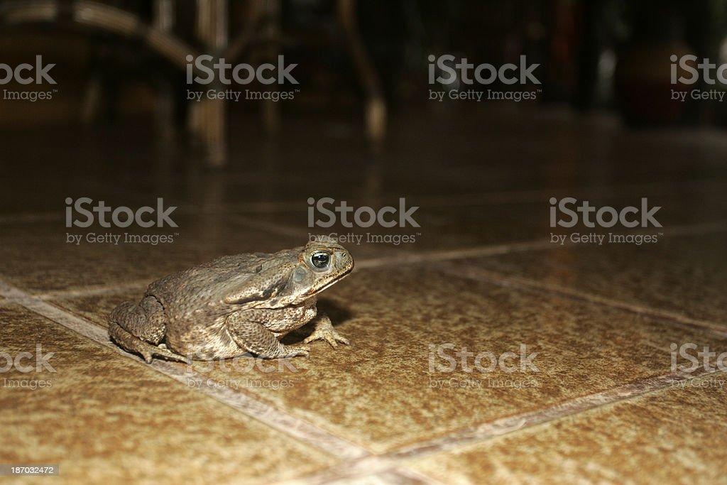 Cane toad, Bufo marinus stock photo