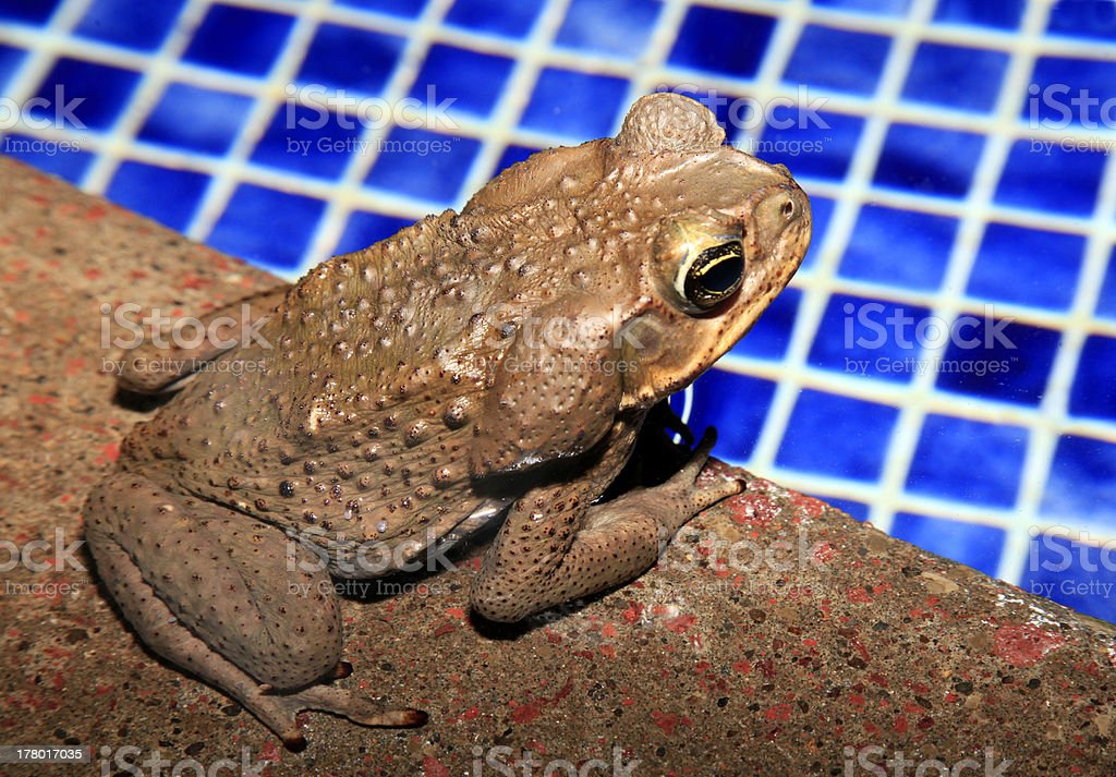 Cane Toad by the Pool In Costa Rican Resort stock photo