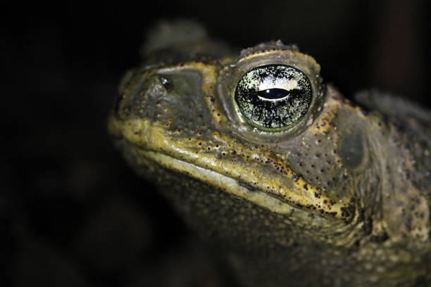Cane Toad Close-up stock photo