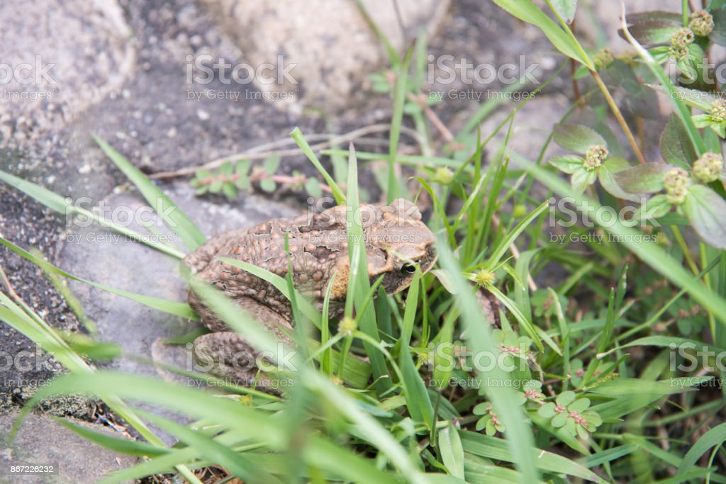 Cane Toad in the Grass stock photo