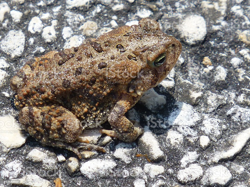 Cane Toad on Pavement stock photo