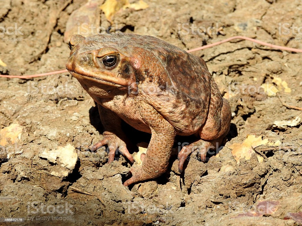 Cane toad stock photo