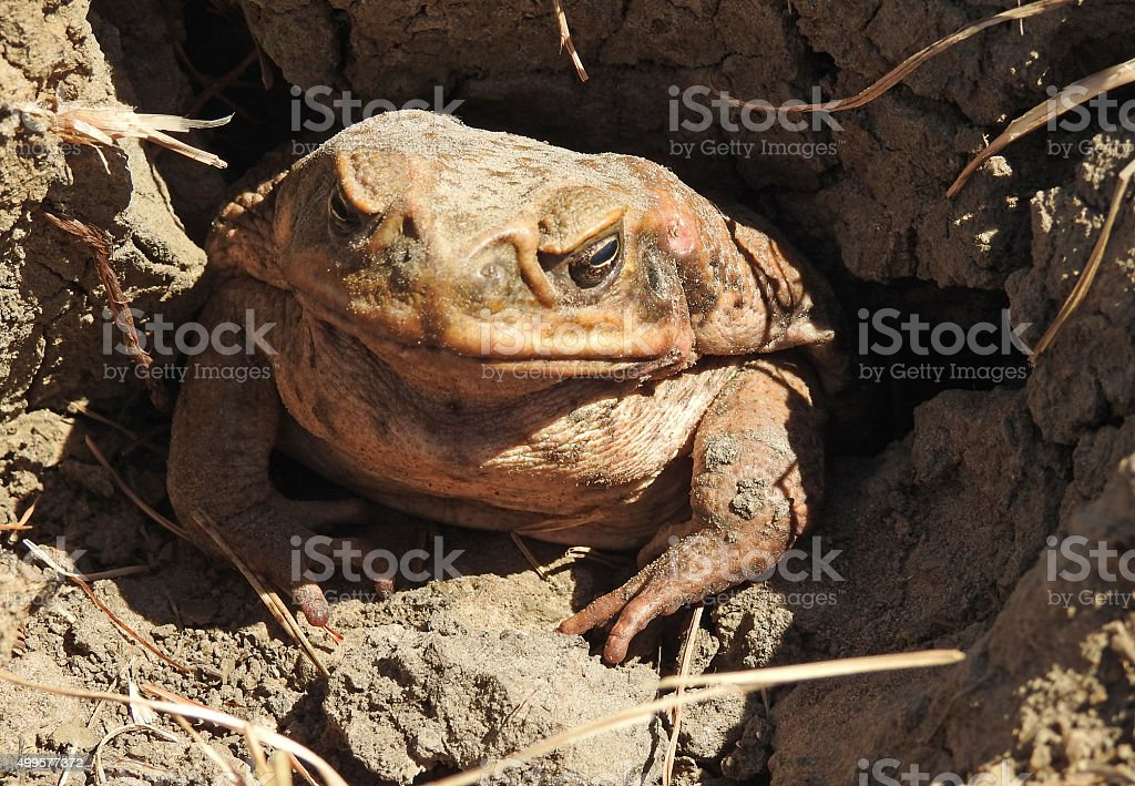 cane toad. stock photo