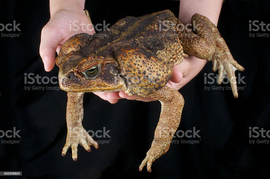 Cane toad / Rhinella marina stock photo