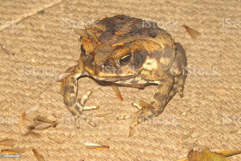 Cane Toad With Flying Termites Sitting On A Burlap Sack Stock Photo