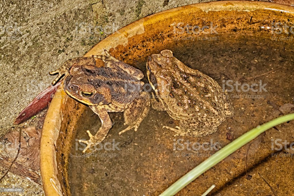 Cane toads in a dish of water stock photo