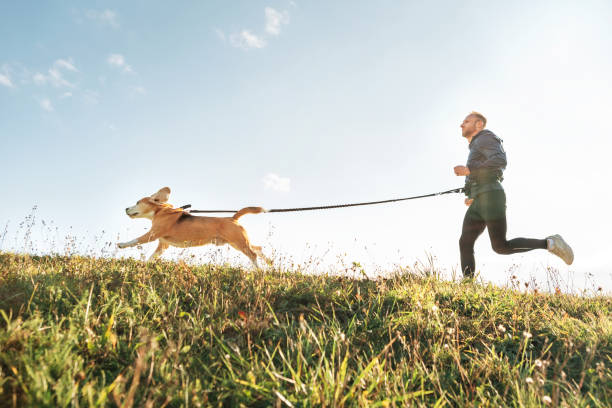 Canicross Übungen. Mann läuft mit seinem beagle Hund. Outdoor-Sport-Aktivität mit Haustier – Foto
