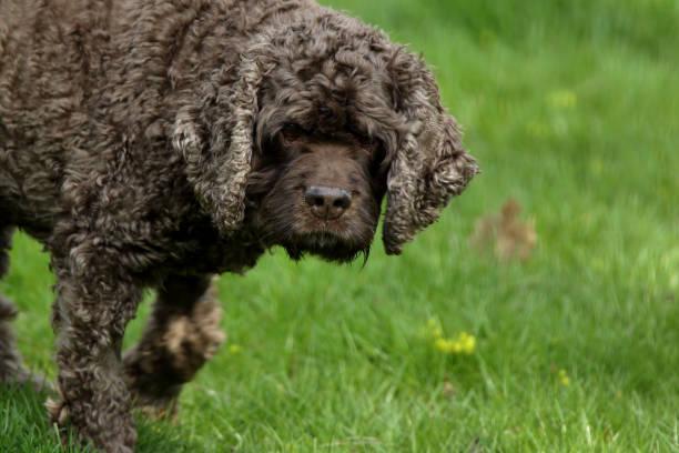hund: cocker spaniel - amerikanischer cocker spaniel stock-fotos und bilder