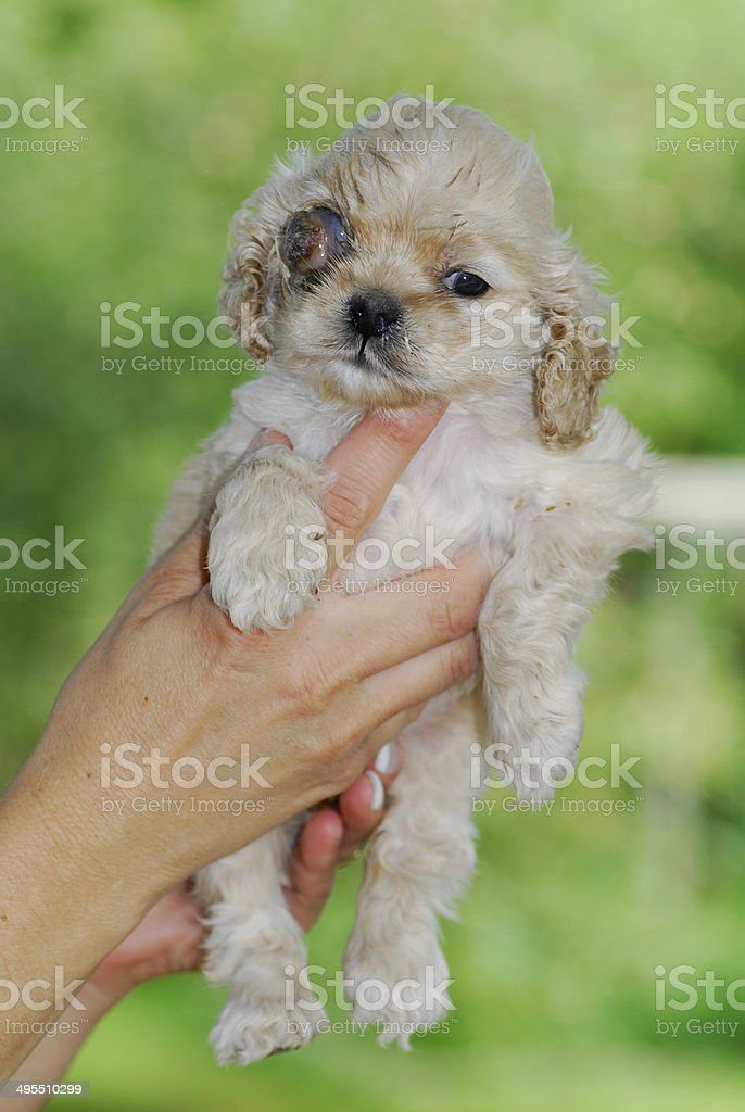 canine glaucoma royalty-free stock photo