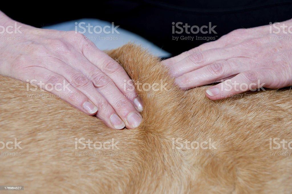 Canine Massage stock photo