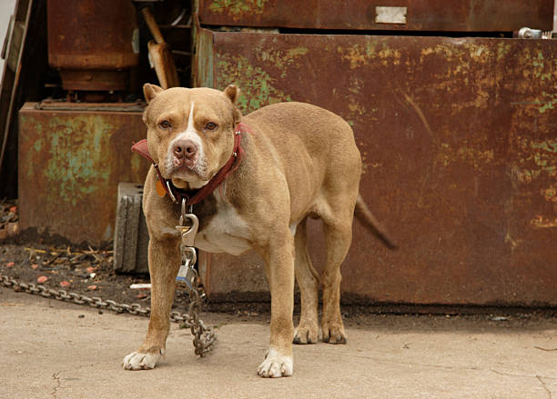 canine scenes - junkyard dog junkyard watch dog brown pit bull canine miserly stock pictures, royalty-free photos & images