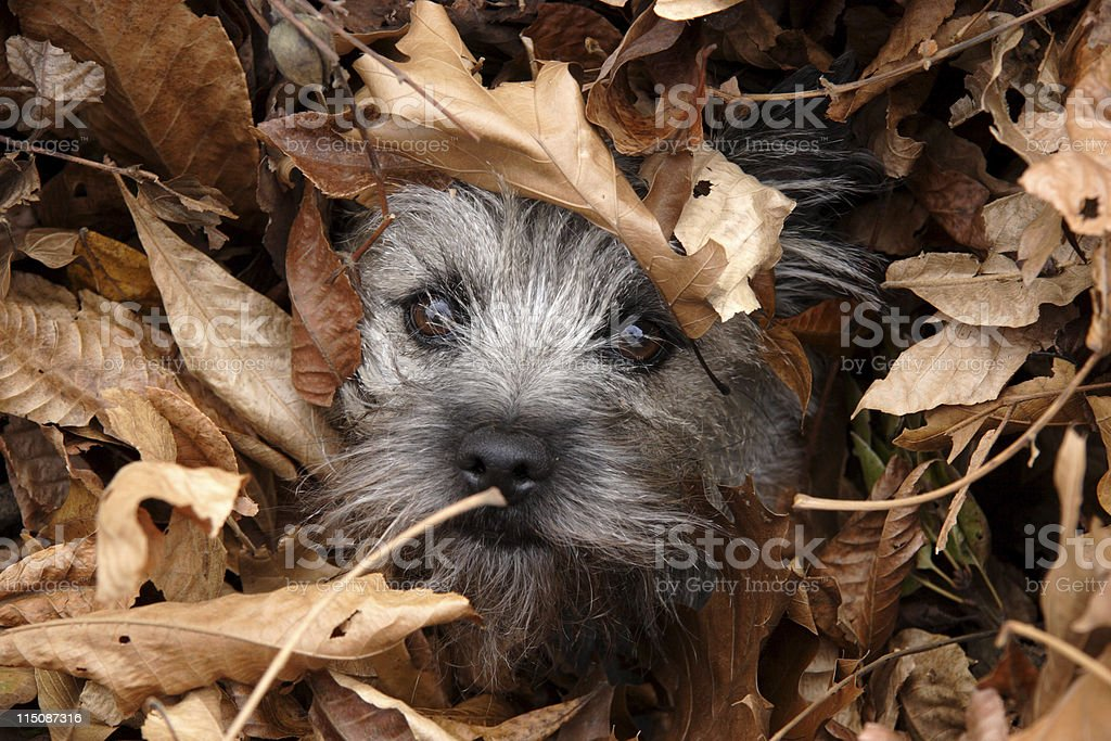 canine scenes - lost dog in leaves stock photo