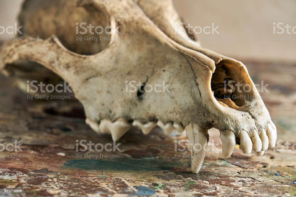 Canine Scull Without Lower Jaw Stock Photo & More Pictures of ...
