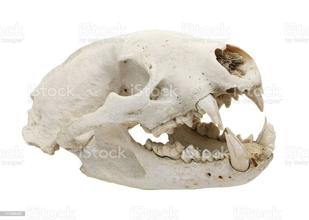 Canine Skull Stock Photo More Pictures Of Anatomy Istock