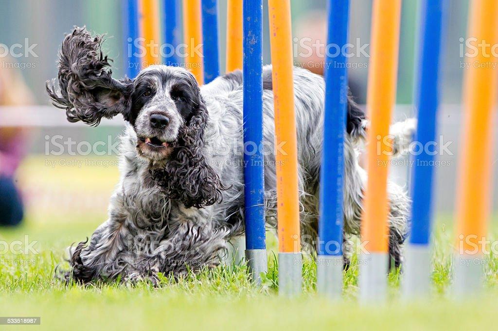 Canino deporte - foto de stock