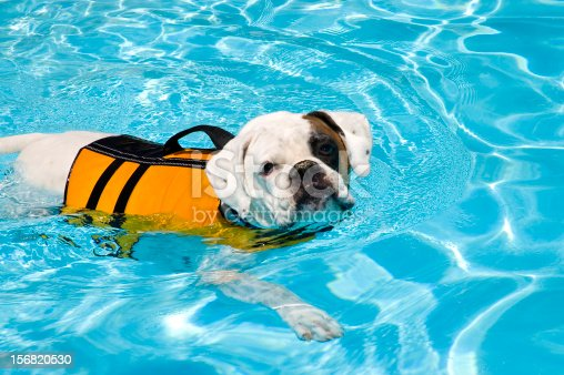 A Bulldog Boxer mix going through physical therapy in a pool. Swimming left to right in the frame.