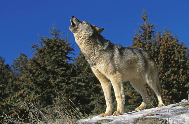 north american grey wolf canis lupus occidentalis, adult howling on rock, canada - lupo foto e immagini stock