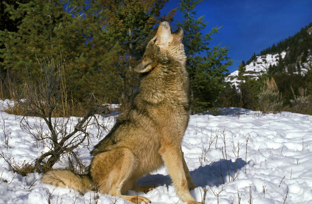 north american grey wolf canis lupus occidentalis, adult howling on snow, canada - lupo foto e immagini stock